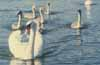 Photo by Noel Malsberg. Swans on Croton River. Looking upriver toward Paradise Island